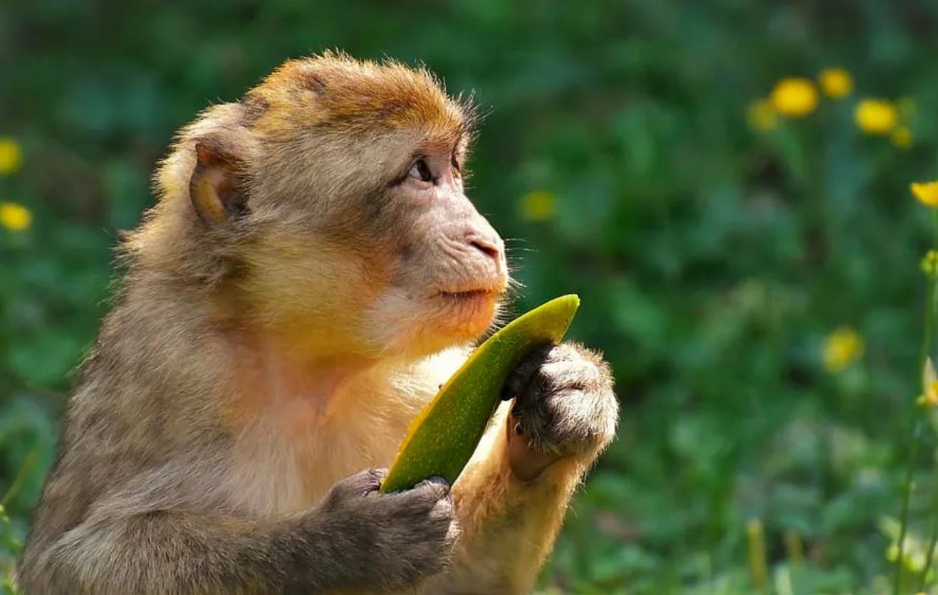 实验猴需求巨大,一猴难求到有价无猴:猴哥身价飙升至10万!